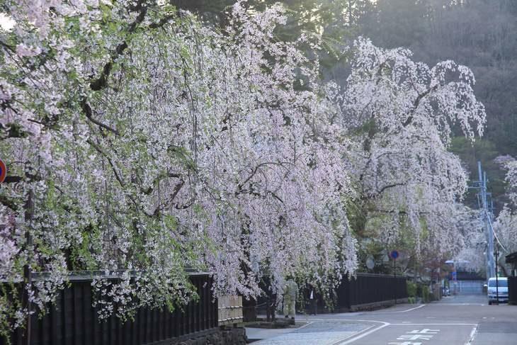 秋田 角館武家屋敷の枝垂れ桜