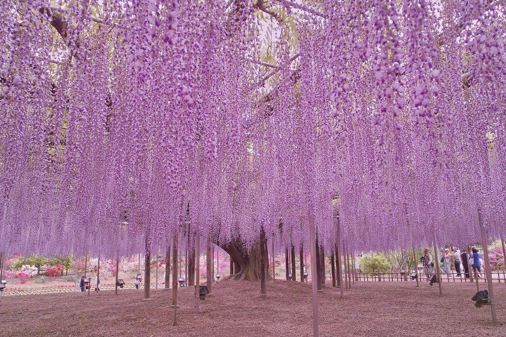 栃木県 あしかがフラワーパーク