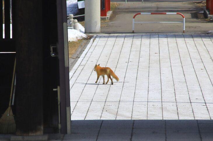 札幌護国神社のキツネ