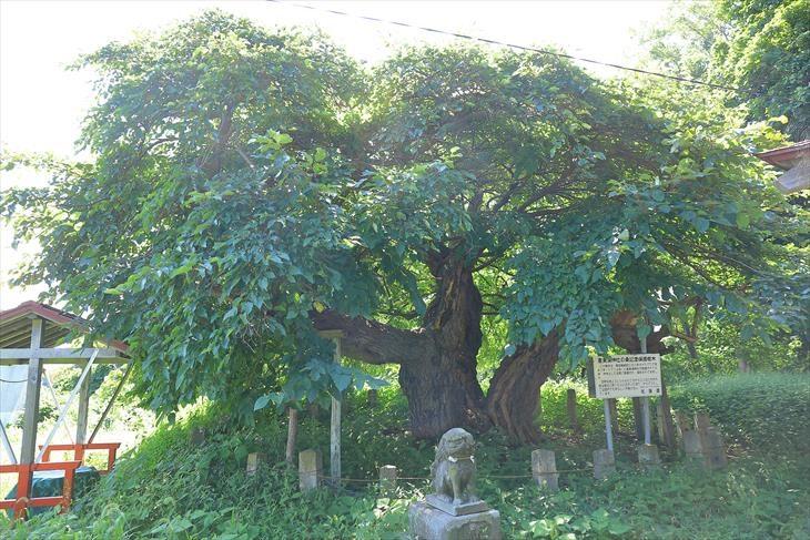 恵美須神社保護樹木
