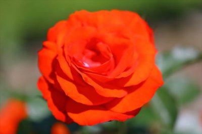 大通公園12丁目のバラ