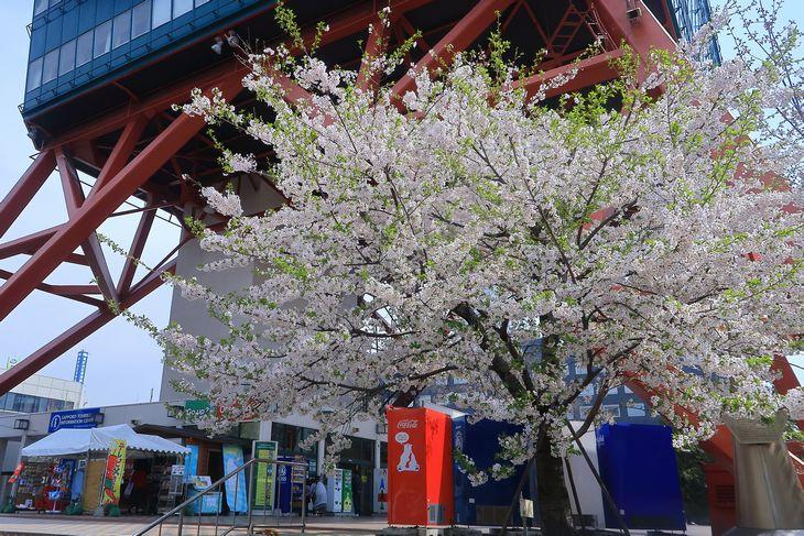 さっぽろテレビ塔と桜