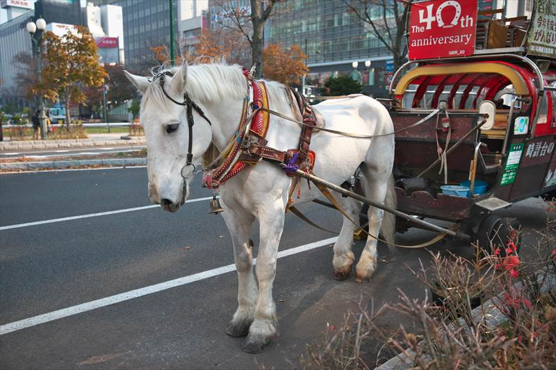 札幌観光幌馬車と銀太君