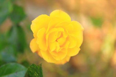 北大植物園のバラ