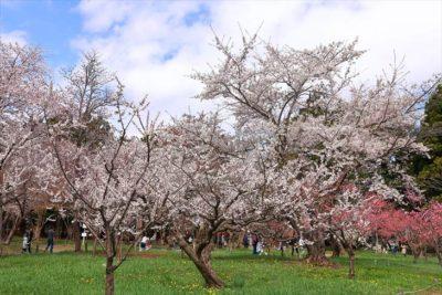北海道神宮の参道の桜