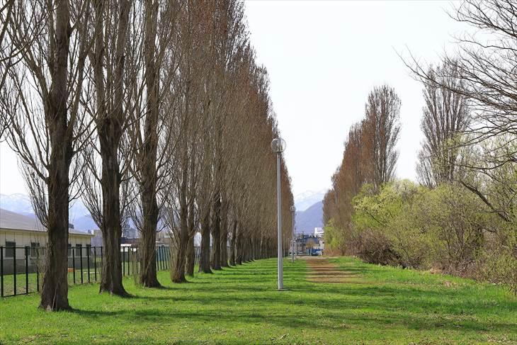 北大 平成ポプラ並木