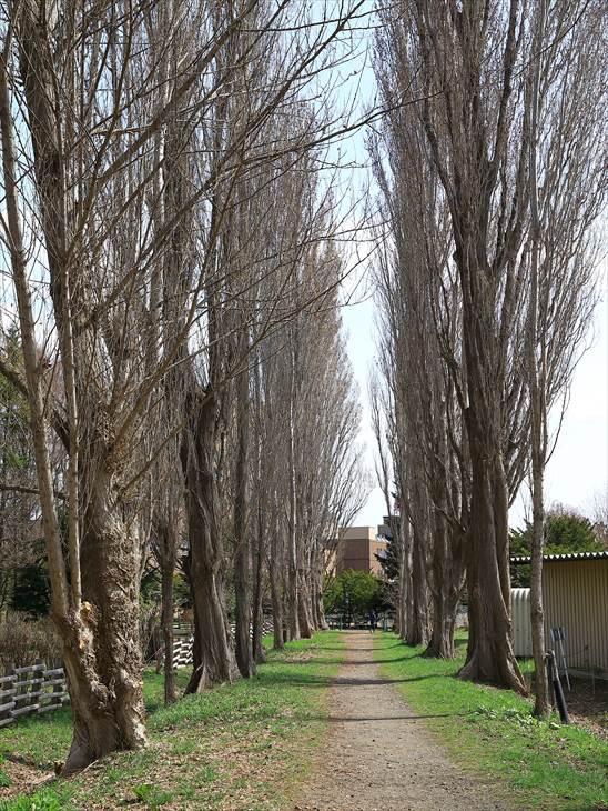 北大ポプラ並木の風景