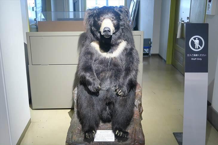 北大総合博物館 熊の剥製