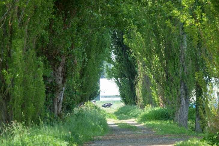 北大ポプラ並木の夏