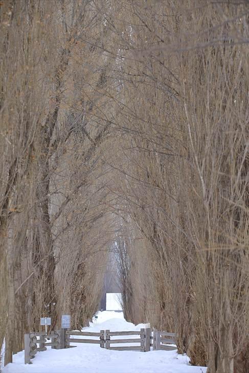 北大ポプラ並木、冬の風景