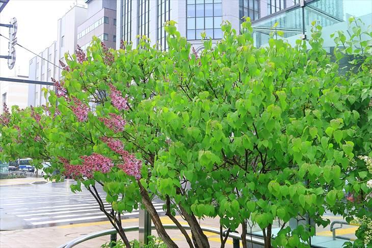 札幌・大通公園ライラックの花