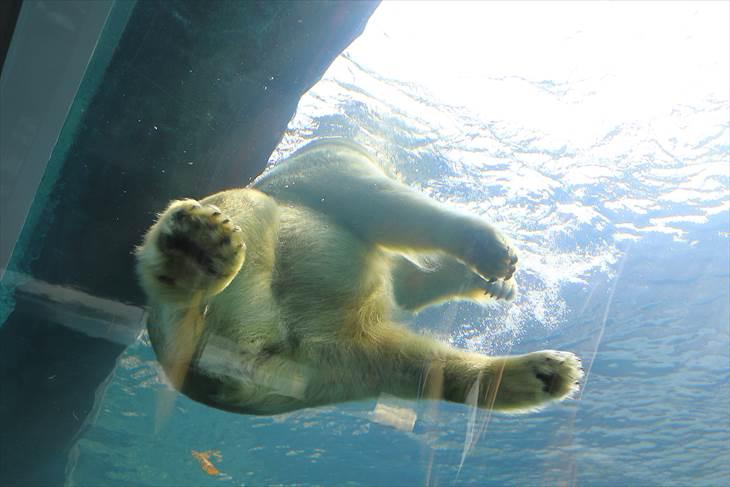 円山動物園 シロクマ