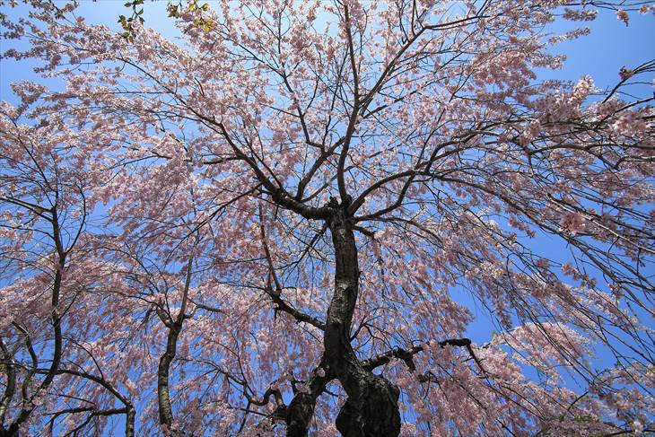 中島公園 日本庭園の枝垂れ桜