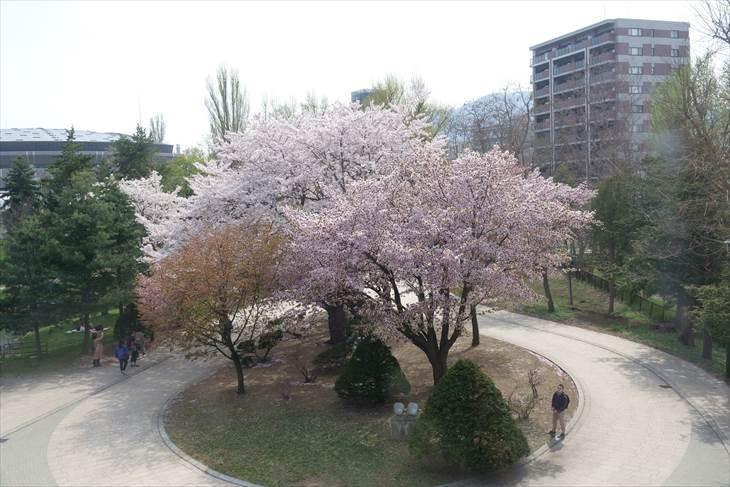 豊平館から見る桜