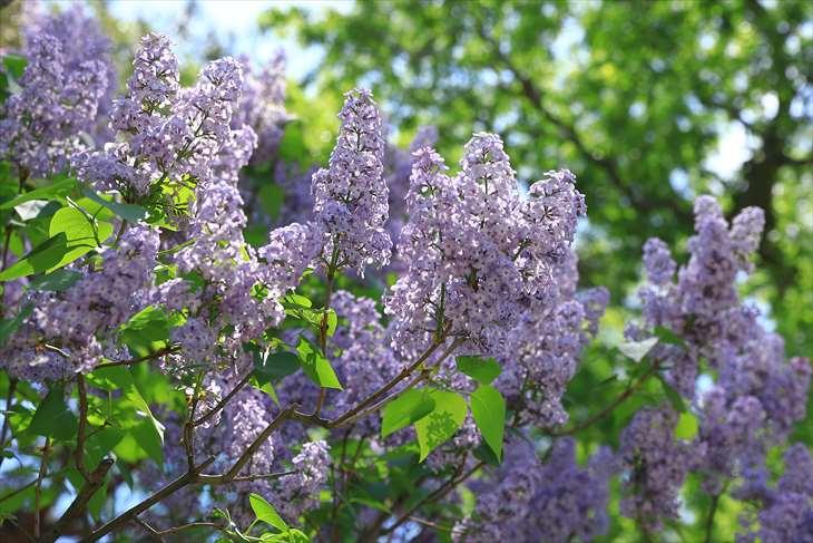 中島公園のライラックの花