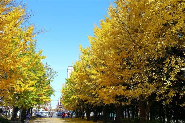 中島公園の銀杏並木