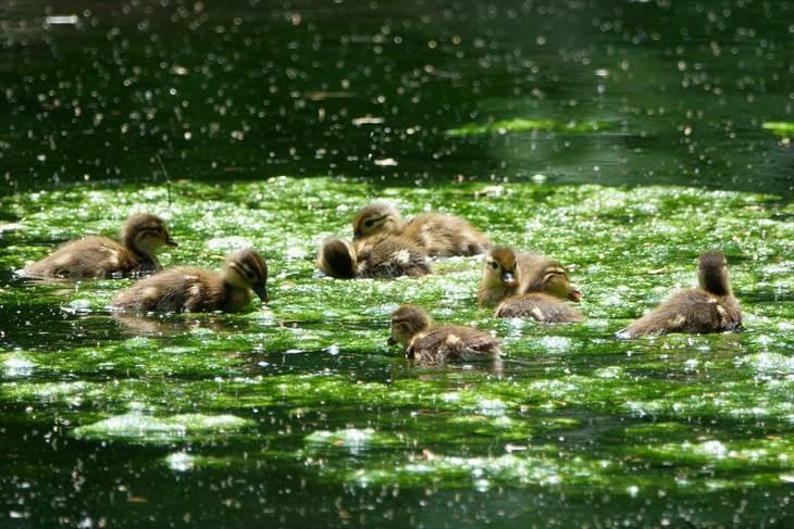 水草の上で遊ぶオシドリのヒナ