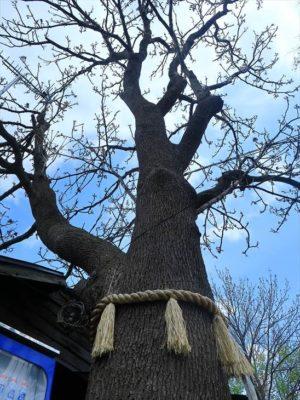 札幌諏訪神社の御神木