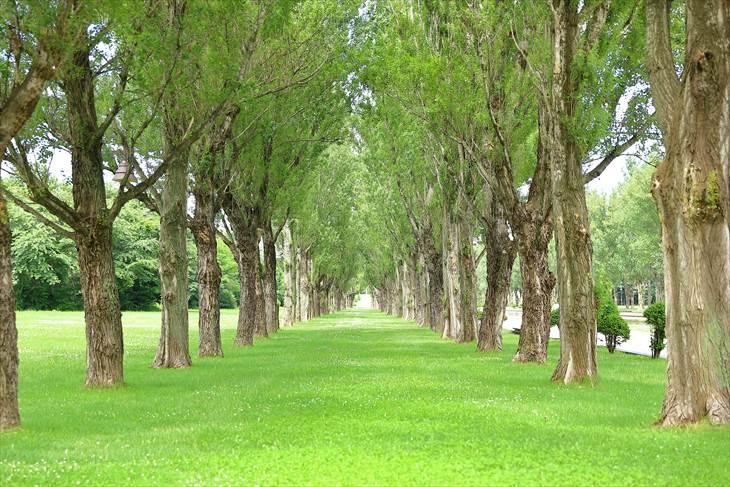 前田森林公園 ポプラ並木