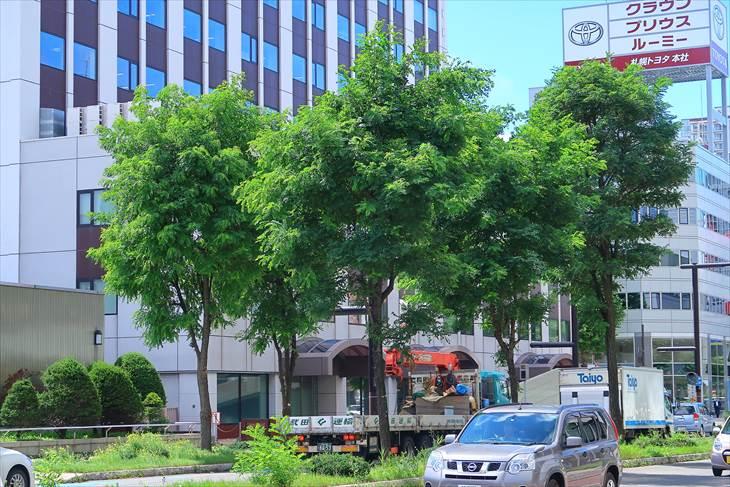 北一条通りのアカシア並木