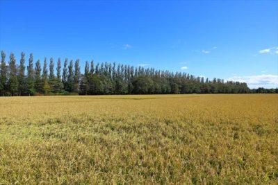 あいの里緑道のポプラ並木と中山牧場のポプラ並木