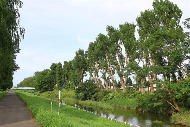創成川通のポプラ並木