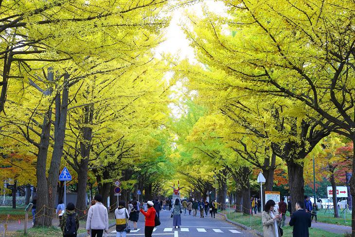 北大 銀杏並木 黄葉