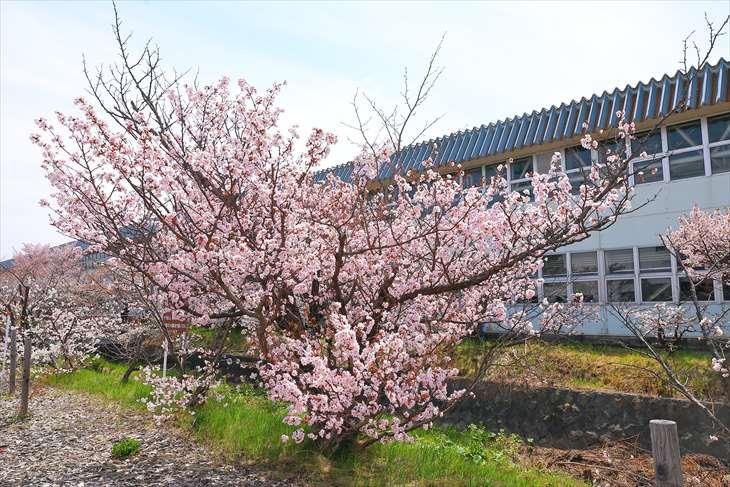 寒地土木研究所 期間限定公開 千島桜