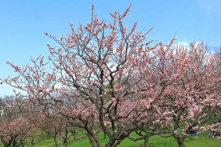 平岡公園梅まつり