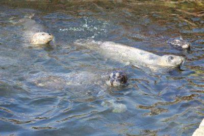 おたる水族館 アザラシのプール