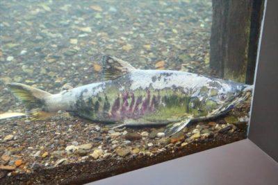 サケのふるさと 千歳水族館 水中観察ゾーン